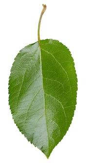 Листья apple, изолированные на белом фоне. листья яблони обтравочный контур