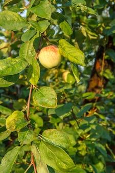 自然な背景を持つ夏の日の庭の木の枝にリンゴ。