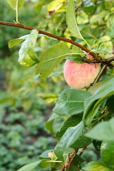 自然なぼやけた背景を持つ夏の日の庭の木の枝にリンゴ。
