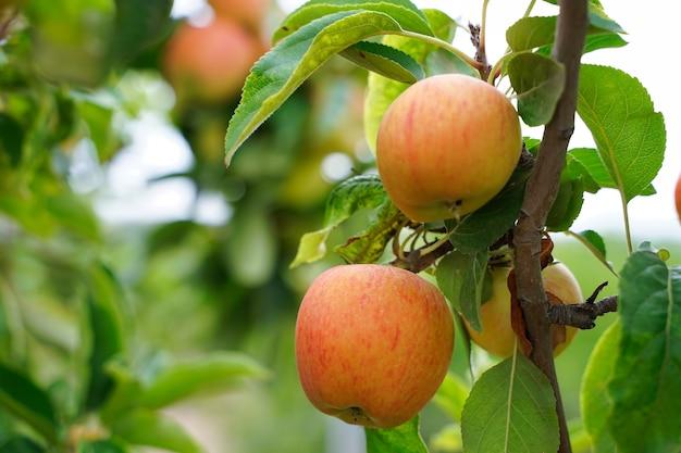 Яблоко на дереве.