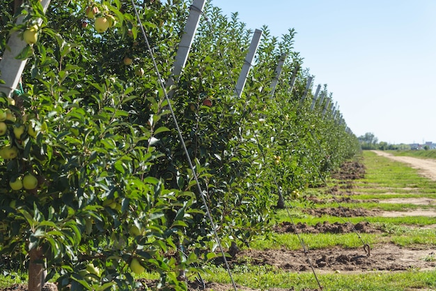 リンゴ園。農業。リンゴの木の列が成長します。