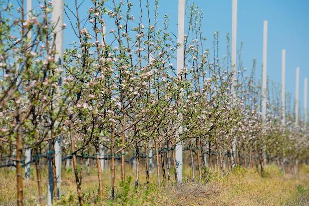 花と木の行と春のリンゴ園園。