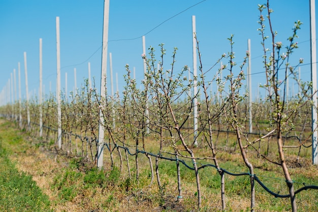 Apple orchard garden in springtime with rows of trees with blossom.