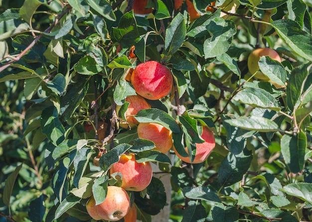 赤いリンゴとリンゴの果樹園。木の枝に熟したリンゴ。