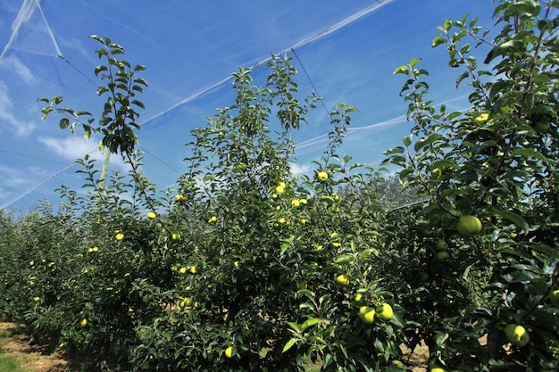 Apple orchard with a safety net
