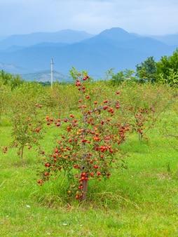 수확 전 사과 나무, 농업 지역. 알라베르디, 카케티