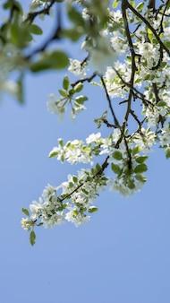 푸른 하늘 배경에 사과 나무 꽃 사과 정원 정원에서 봄 꽃