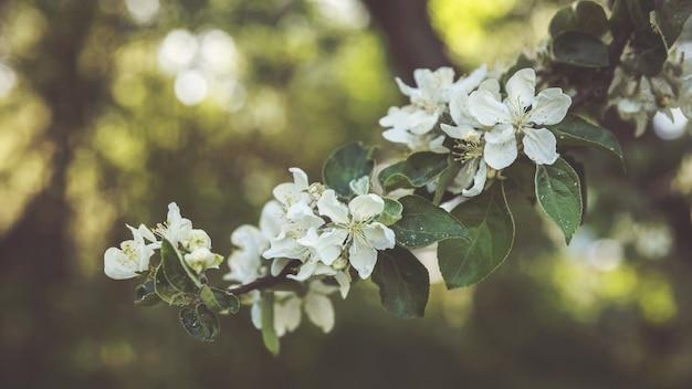 녹색 배경에 사과 나무 꽃 사과 정원 정원에서 봄 꽃