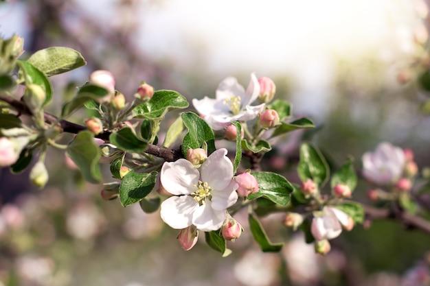 春の庭に咲くリンゴの木の枝をクローズアップ