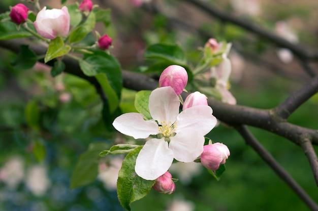 花に焦点を当てた春までのリンゴの木の枝