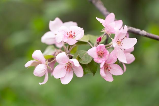 春に繊細な花で覆われたリンゴの木の枝