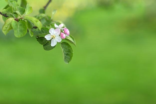 흐리게 녹색에 사과 나무 가지 꽃