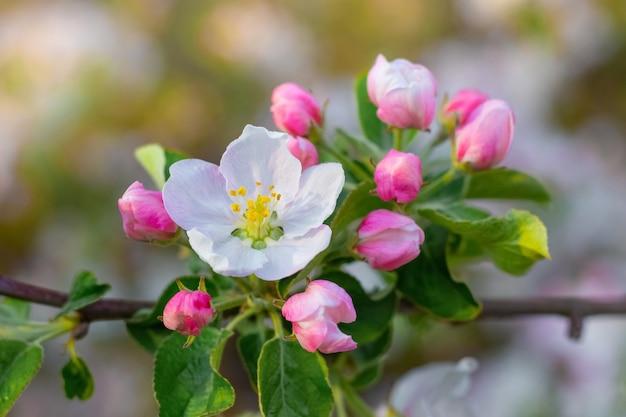 春の庭に花とつぼみのあるリンゴの木の枝