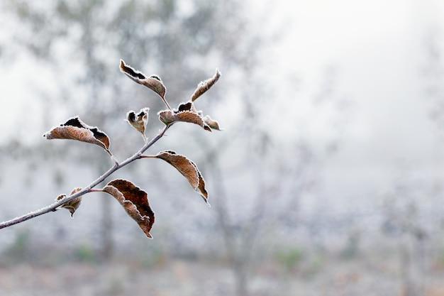 흐린 배경에 서리 덮인 잎이 있는 사과 나무 가지