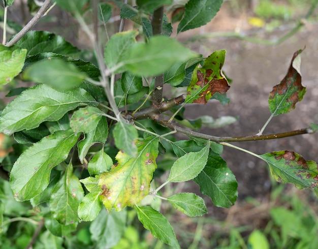 곰팡이 병 녹의 영향을받는 녹색 잎이있는 사과 나무 가지. 여름에 녹슨 사과나무 가지