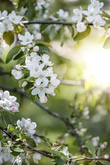 Apple tree branches in bloom with white flowers in spring garden