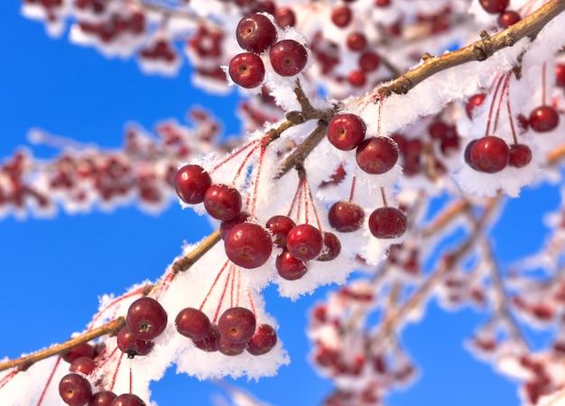 冬のリンゴの木の枝。雪と霜で覆われた枝に小さな赤い装飾的なリンゴ