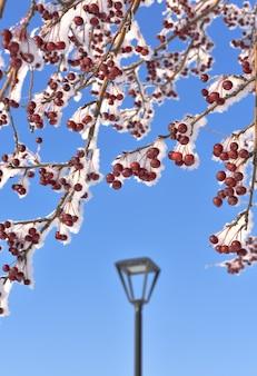 冬のリンゴの木の枝雪に覆われた枝に小さな赤い装飾的なリンゴ