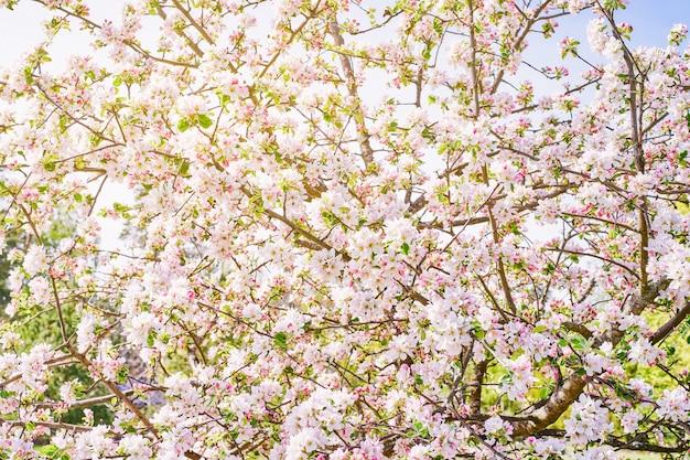 Ветви яблони с белым цветком. весенний яблоневый цвет. солнечный свет сквозь ветви.