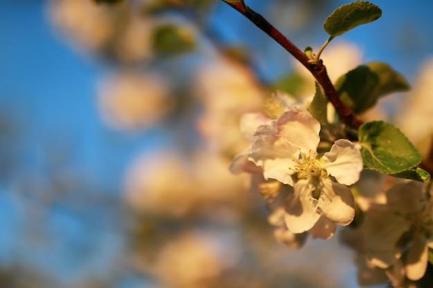 일몰에 사과 나무 꽃