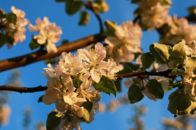 日没時のリンゴの木の花