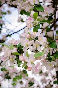 봄에서 분기에 사과 나무 꽃
