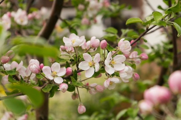 An apple tree is in a full bloom in spring