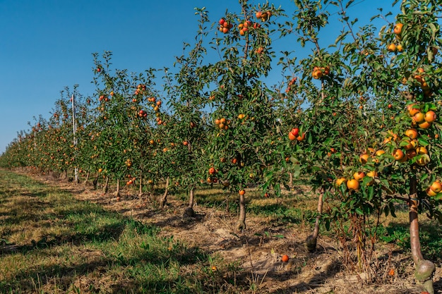 Apple tree juice industry, autumn harvest agriculture garden