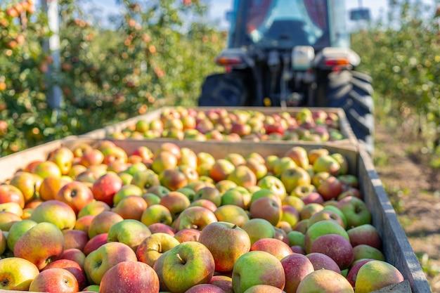 Apple tree juice production industry, autumn harvest agriculture