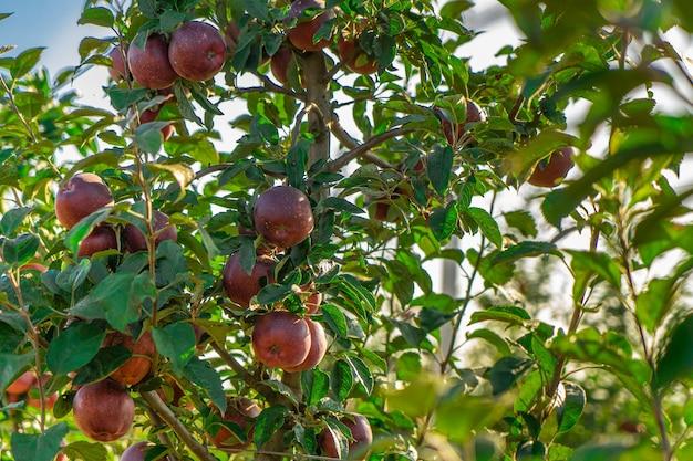Apple tree juice production industry, harvest agriculture. apple garden