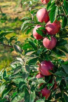 Apple tree orchard juice production industry autumn agriculture apple garden