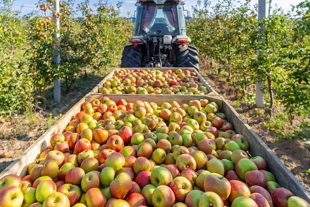 Apple tree production industry, autumn harvest agriculture. apple garden