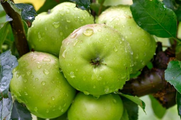 Яблоня с крупным планом зеленых яблок в солнечном свете после дождя падает на ветру. зеленые яблоки растут на ветке.