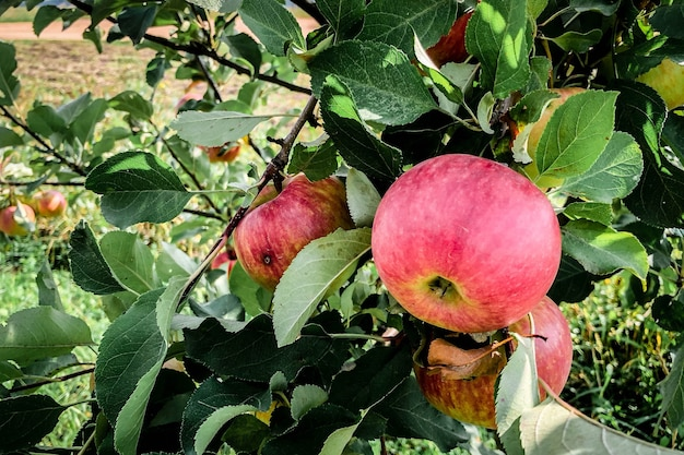 Apple tree with red apples.