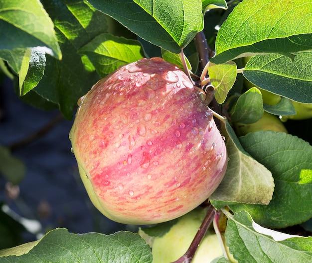 熟したリンゴの果実とリンゴの木。リンゴの木の枝に生えている熟したリンゴ。雨上がりのリンゴ、クローズアップ。濡れたリンゴ。