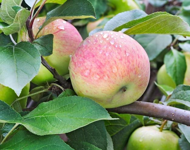 熟したリンゴの果実とリンゴの木。リンゴの木の枝に生えている熟したリンゴ。雨上がりのリンゴ、クローズアップ。