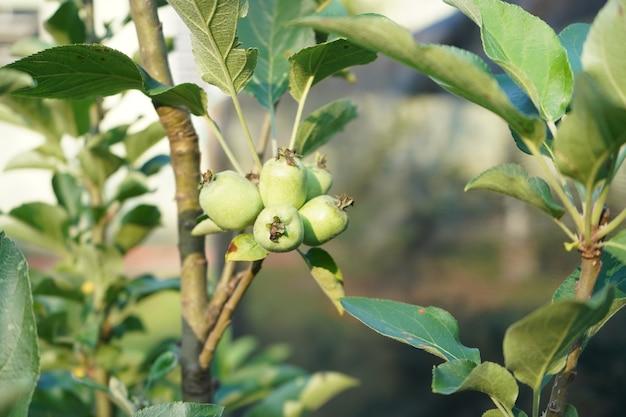 小さなリンゴが成長し始めているリンゴの木
