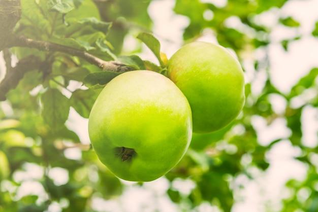 Apple trees  in the garden during autumn, uk