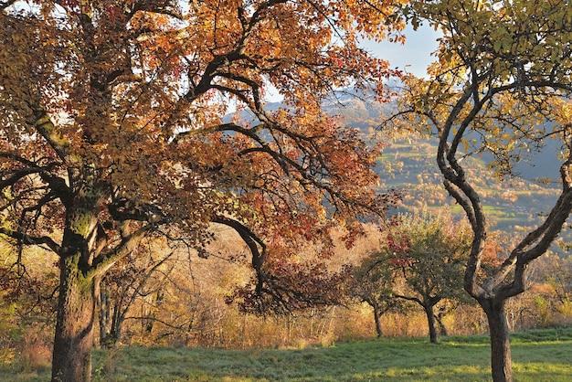 가을 과수원에서 붉은 단풍과 사과 나무