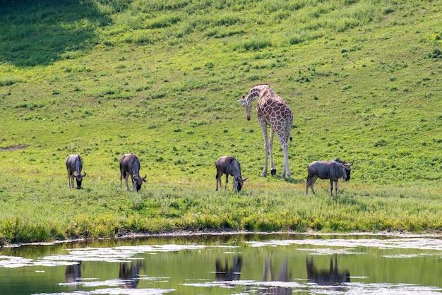 Эппл-вэлли, миннесота. стадо антилоп гну, пасущееся на пастбище с жирафом.