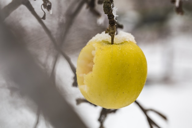 Apple weighs on the branches in the snow, the beginning of winter