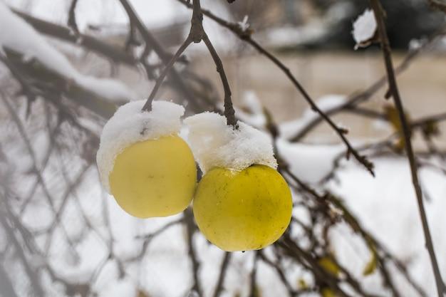 Яблоко весит на ветках в снегу, начало зимы