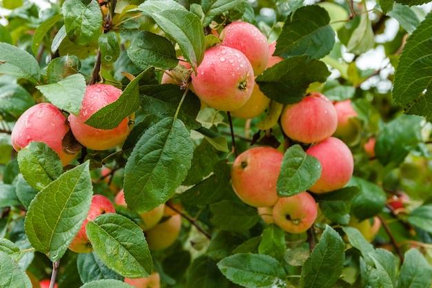 Яблоко на ветке в мягком фокусе в фоновом режиме. яблоня. apple с каплями дождя.