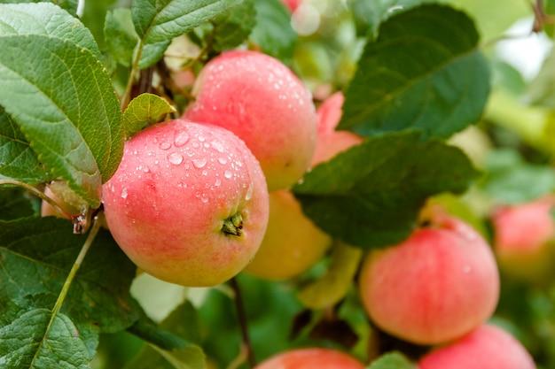 Яблоко на ветке в мягком фокусе в фоновом режиме. apple с каплями дождя.
