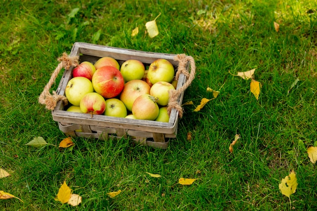 Apples in a basket on green grass in a garden.