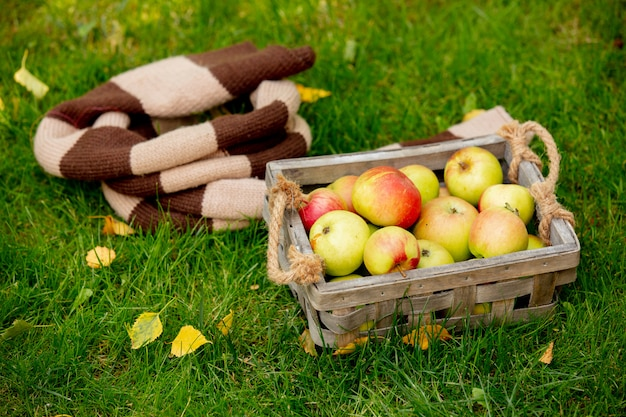Apples in a basket and scarf on green grass in a garden.