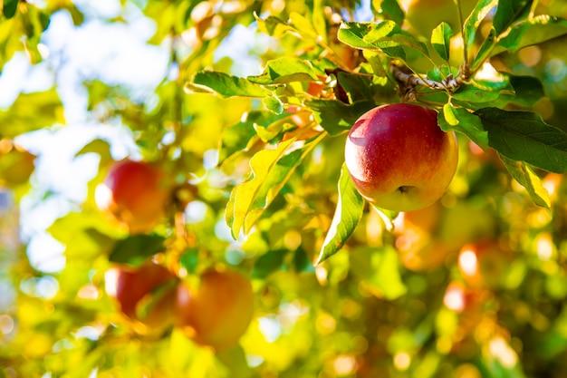 Яблоки растут на дереве в саду. выборочный фокус.