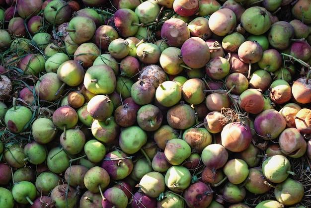 Яблоки в компостной яме используются как органическое удобрение для растений