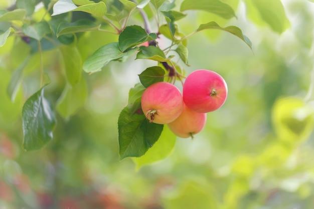여름 정원의 녹지를 배경으로 나뭇가지에 있는 사과