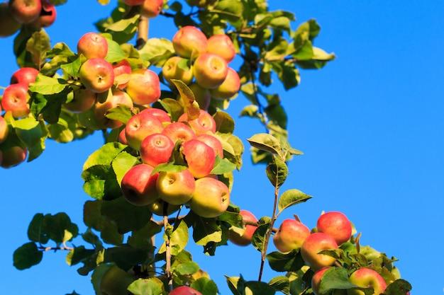 Яблоки на ветке дерева против голубого неба